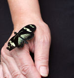 Butterfly on hand. Quietly flapped a butterfly on the hand Royalty Free Stock Image
