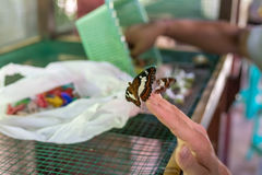 Butterfly on hand in the butterfly park of Bali island, Indonesia. Stock Image