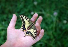 Butterfly on the hand of a child. Butterfly machaon on the hand of a little child. Ð¡ontact with nature. Butterfly on the hand of a child. Butterfly machaon royalty free stock photos