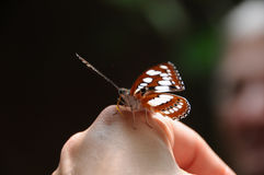 Butterfly on Hand Close up. Close up of Butterfly with orange and white and black markings resting on person`s hand Royalty Free Stock Image