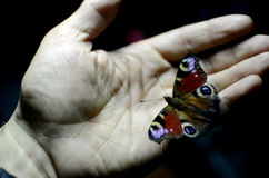 Butterfly. In hand of a man Stock Image