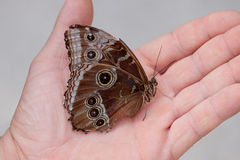 Butterfly in hand. Morpho peleides butterfly resting in a hand Stock Photos