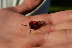 Butterfly in hand. Red butterfly in hand Royalty Free Stock Photos