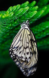 Butterfly hanging Royalty Free Stock Images