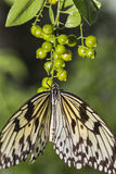 Butterfly Hanging On to Buds. Close up of a Rice Paper Butterfly on flower buds Royalty Free Stock Images