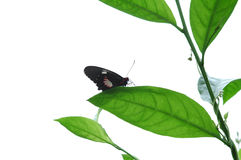 Butterfly Has Landed. Single black butterfly at rest on leaf foliage Stock Photo