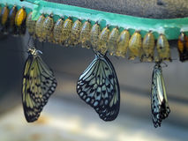 Butterfly hatchery. Butterflies hatching from the coocoons in the hatchery Royalty Free Stock Photography