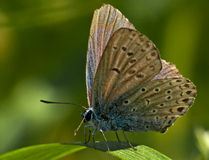 Butterfly on a haulm Royalty Free Stock Photo