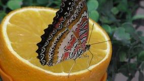 Butterfly have breakfast orange juice stock footage