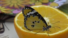 Butterfly have breakfast orange juice stock video footage