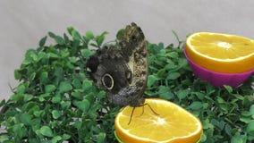 Butterfly have breakfast orange juice. stock video