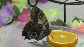 Butterfly have breakfast orange juice. stock footage