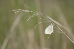 A butterfly having folded its wings, sits on a dry blade of gras Royalty Free Stock Photo