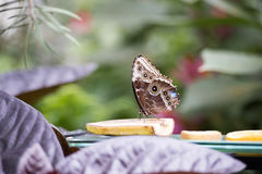 Butterfly having lunch. Blue monarch butterfly eating a banana stock images