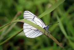 Butterfly & x22;Hawthorn& x22; Royalty Free Stock Photo