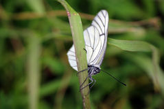 Butterfly & x22;Hawthorn& x22; Royalty Free Stock Photography