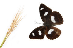 Butterfly and hay. With white background royalty free stock image