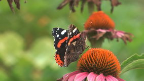 Butterfly. HD close up beauty butterfly on a flower stock video