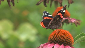 Butterfly. HD close up beauty butterfly on a flower stock video footage