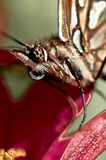 Butterfly head. Picture of a Butterfly head stock photos
