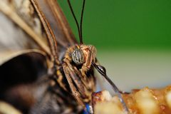 Butterfly head with streched out proboscis Royalty Free Stock Photos