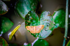 Butterfly on heart shape lotus leaf Royalty Free Stock Photo