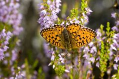The butterfly on a heather Royalty Free Stock Photos