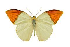 Butterfly hebomoia glaucippe aturia. Isolated on white background Stock Images