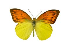 Butterfly Hebomoia leucippe. Isolated on white background Royalty Free Stock Photo