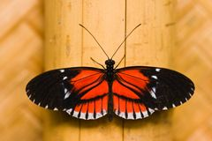 Butterfly Heleconius melpomene Royalty Free Stock Photo