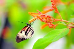 Butterfly,  Heliconius feeding on flowers Stock Photos