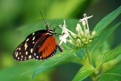 Butterfly Heliconius Hacale zuleikas in Costa Rica mariposa naranja royalty free stock photos