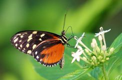 Butterfly Heliconius Hacale zuleikas in Costa Rica mariposa naranja. Central america royalty free stock images