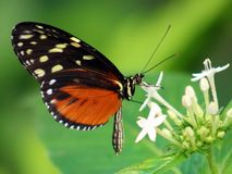 Butterfly Heliconius Hacale zuleikas in Costa Rica mariposa naranja royalty free stock photo