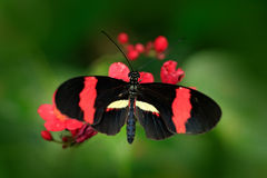Butterfly Heliconius melpomene, in nature habitat. Nice insect from Costa Rica in the green forest. Butterfly sitting on the leave stock images