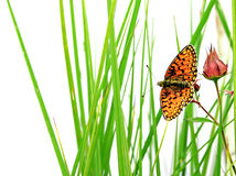 Butterfly on herb Stock Images