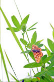 Butterfly on herb Royalty Free Stock Images