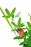 Butterfly on herb Royalty Free Stock Photo