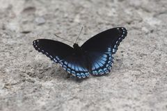 Butterfly. Here is a beautiful buttery Stock Photography