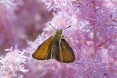 Butterfly (Hesperiidae). Stock Photography