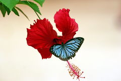 Butterfly on hibiscus. Butterfly in Cambodia (Ideopsis similis or Blue Glassy Tiger, I believe royalty free stock photography