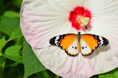 Butterfly on hibiscus flower Royalty Free Stock Images