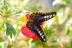 Butterfly on Hibiscus Flower Stock Photo