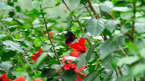Butterfly on a hibiscus flower. The tropical butterfly flies near a hibiscus flower, slow motion stock video