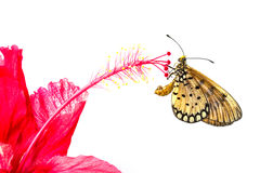 Butterfly on hibiscus flowers Royalty Free Stock Images