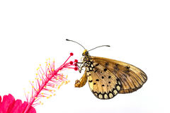 Butterfly on hibiscus flowers Stock Image