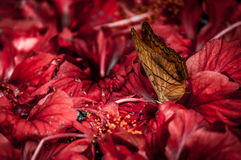 A butterfly and hibiscus flowers. A shot of a butterfly feeds on red hibiscus flowers Royalty Free Stock Photography