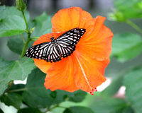 Butterfly on Hibiscus. Butterfly resting on Hibiscus flower Stock Images