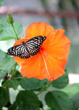 Butterfly on Hibiscus - vertical. Butterfly resting on Hibiscus flower Royalty Free Stock Image