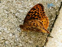 Butterfly in hiding. An orange and black butterfly seems to hide in the pattern of the cement royalty free stock photos